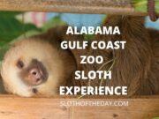 Alabama Gulf Coast Zoo Sloth Encounter Experience