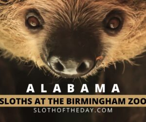 See Hold a Sloth in Alabama at The Birmingham Zoo