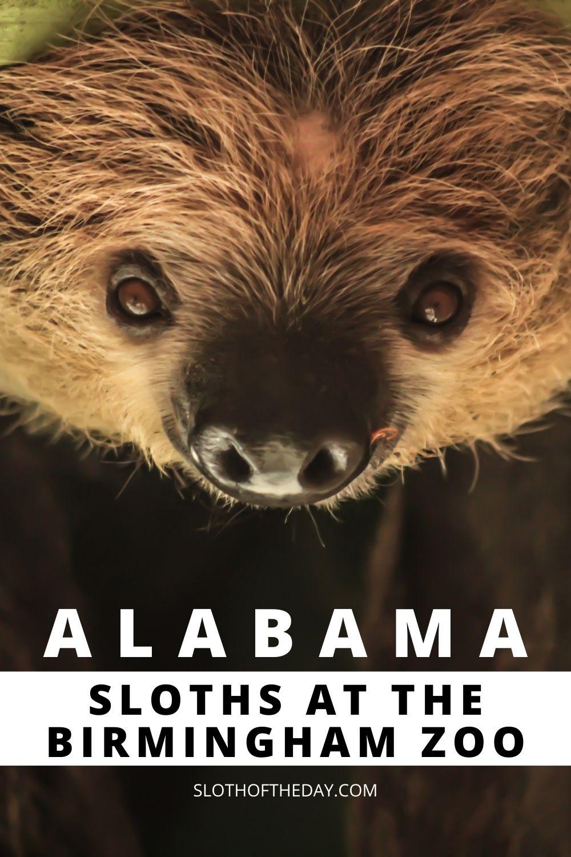 Sloths at The Birmingham Zoo in Alabama Sloth Encounter Pin