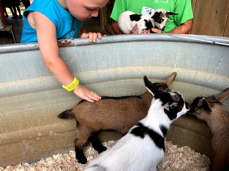 baby goats At The Lewis Adventure Farm and Zoo Petting Zoo