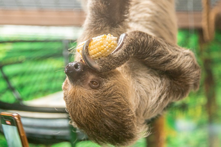 brooke sloth eating corn Do the sloths have any favorite foods