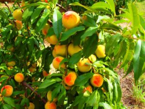 peach tree Pick Your Own