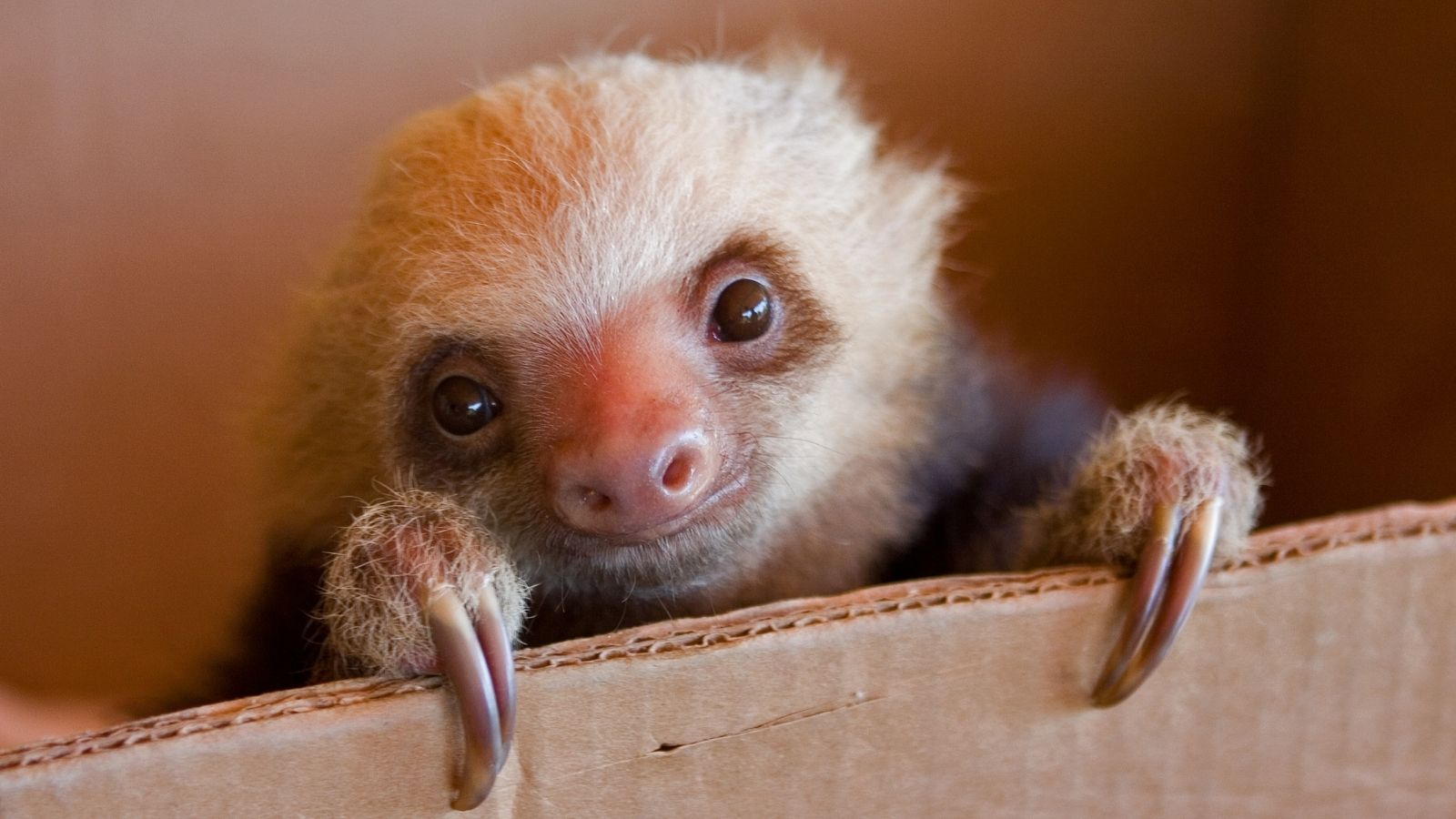Can You Own a Sloth in Alabama Sloth of The Day