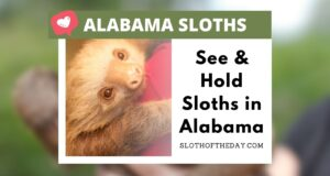 See and Hold Sloths in Alabama Sloth of The Day