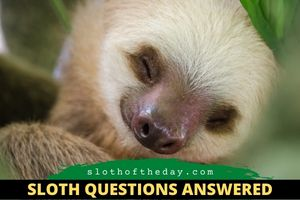 Are Female Sloths Good Mothers