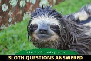 Are Two-toed and Three-toed Sloth the Same Sloth Questions Answered Sloth of The Day