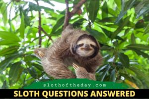 Do Sloths Fart Questions about our friends the sloths Sloth of The Day