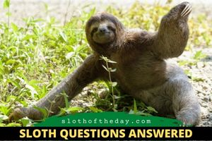 Do Sloths Walk On The Ground Sloth Questions Answered Sloth of The Day