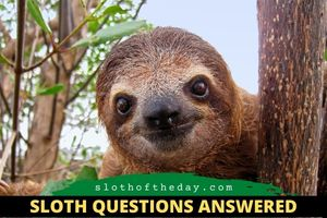 How Fast Can a Sloth Move Sloth Questions Answered