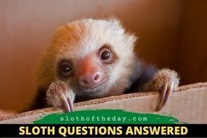 How Many Different Types of Sloths are There Sloth Questions Answered Sloth of The Day