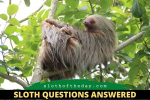 How Often Do Sloths Sleep Questions About Sloths Answered