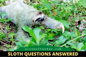 How often Do Sloths Leave Their Trees Sloth Related Questions Sloth of The Day