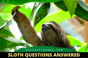 What Do Sloths Eat Sloth Questions Answers Sloth of The Day
