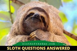 Where Can I See a Sloth In The United States